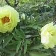 岩国市 錦帯橋 吉香公園 つつじ ぼたん H29(2017) /5 /2