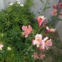 アルストロメリア開花