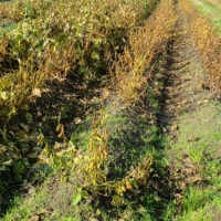 黒大豆  乾燥作業