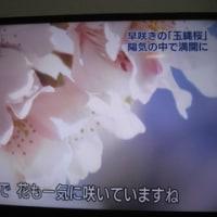 玉縄桜(たまなわざくら)
