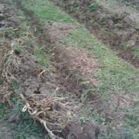 ジャガイモを植えました