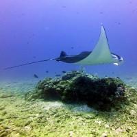 マンタゲットです! 沖縄ダイビング 那覇シーマリン