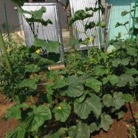 今朝の菜園です、キウリ・トマト・サンチュ・パプリカが良く出来ました