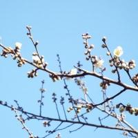 一足遅れでやっと梅の花が咲きました!