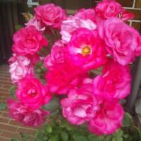 今年はバラが沢山花を咲かせています