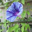 夏の花・アサガオ