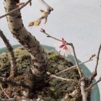 桜の開花~