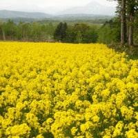 黒松内の菜の花畑1)