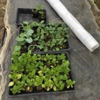 キャベツ&白菜の移植
