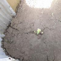 枝豆、サツマ、アスパラ発芽