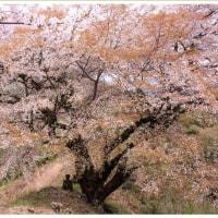 平家五大山桜 ~青々谷大桜~