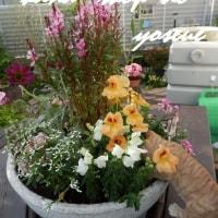 2017.05.24 大鉢の寄せ植え