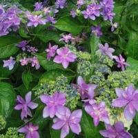 庭の紫陽花とパワーストーンスピナーとご質問にお応えしてと。