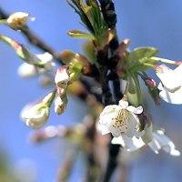 1番咲きの桜見~つけた!!鳥は皆目いなくって…(コゲラ モズ メジロを見ただけ)