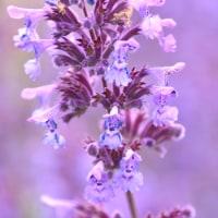 キャットミントの花