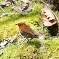 コマドリ, Japanese robin