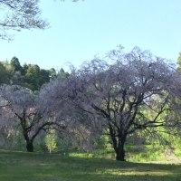 新緑と満開の桜が心を元気に
