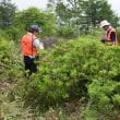 湯の丸レンゲツツジ群落花芽笹刈り調査
