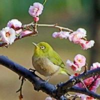 小石川後楽園 黄門様の庭で梅まつり