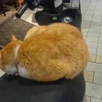 道後温泉猫
