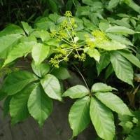 樹木ウォッチング冬から夏へ147コシアブラ2