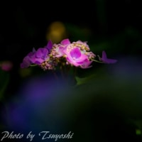 近場の紫陽花