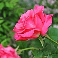 """香りのバラ """"芳純"""""""
