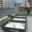 有機水耕栽培3 (H29.6.09~)
