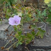 小さい花なのに毅然とした姿が何とも言えず微笑ましく、斯くありたいと沁み々思う。