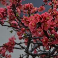 ウオーキング、出会った花(3/21)