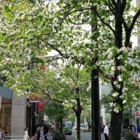 銀座の花水木もさわやかに