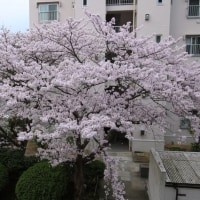 自宅の窓から桜