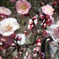 春よ来い恋♥梅の花~高伝寺へ