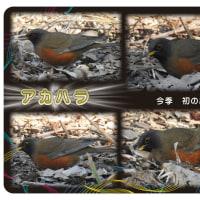 秋ヶ瀬公園でガビチョウ(二度目の出会い)とアカハラ(今季初の出会い)に出会う
