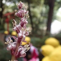 岩本山観察会:キチジョウソウの花