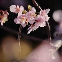 170214-15_小出川-1 <河津桜>