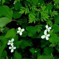 ドクダミ 白い4弁花