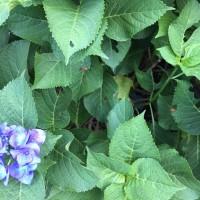 オサンポ walk - 紫陽花来たる4 hydrangeas in season