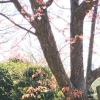 蜂須賀桜葉桜に