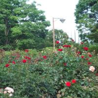 四季折々804  相模原北公園の薔薇2