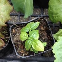 ◆第一弾・夏野菜・植える。