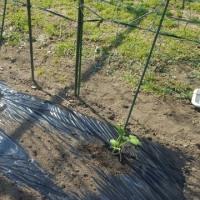 カボチャ植えました。