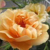 気分転換してます~~~花を眺めて・・・