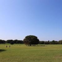 昭和記念公園 キバナコスモス(1)