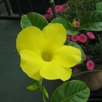 黄色のマンデビラ