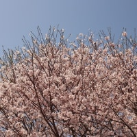 血液検査(再検査)と桜。