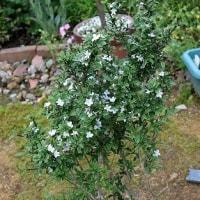 「白丁花」も満開。