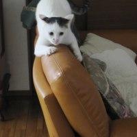 ソファで爪とぎするマロ