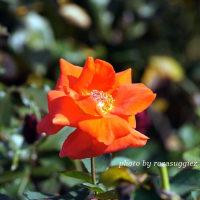 ローラ   オレンジのバラ