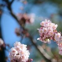寒桜。。。。。。。